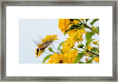 Hummingbird Moth Framed Print by Jason Christopher
