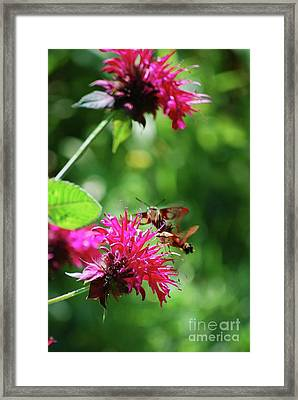 Framed Print featuring the photograph Hummingbird Moth by Lila Fisher-Wenzel