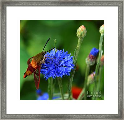 Hummingbird Moth Framed Print by Marjorie Imbeau
