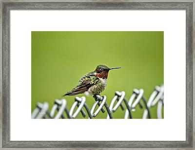 Hummingbird On A Fence Framed Print by Christina Rollo