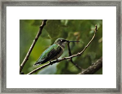 Hummingbird On Branch Framed Print