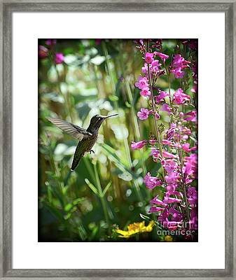 Hummingbird On Perry's Penstemon Framed Print