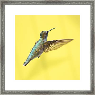 Hummingbird On Yellow 3 Framed Print