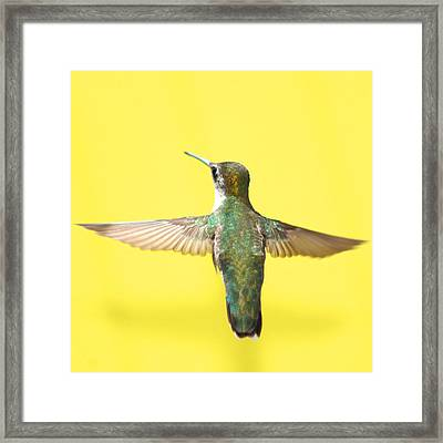Hummingbird On Yellow 4 Framed Print by Robert  Suits Jr