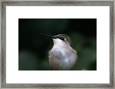 Hummingbird Portrait Framed Print by Alan Skonieczny