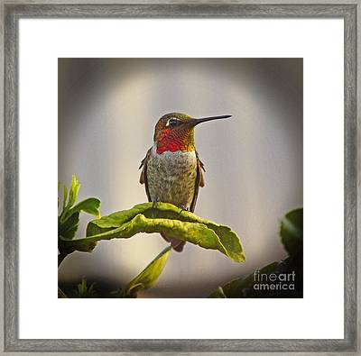 Hummingbird Portrait Framed Print by Marilyn Smith
