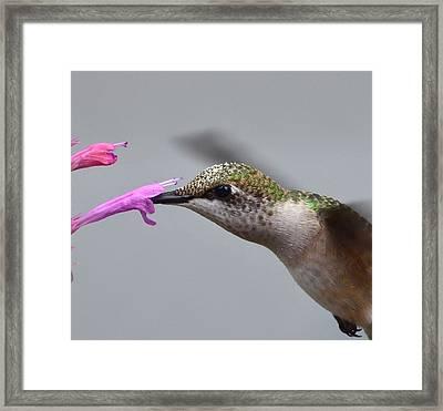 Hummingbird Profile Framed Print