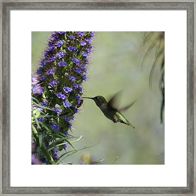 Hummingbird Sharing Framed Print by Ernie Echols