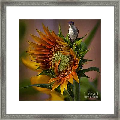 Hummingbird Sitting On Top Of The Sun Framed Print