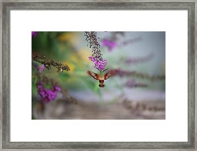 Hummingbird Sphinx Moth Framed Print