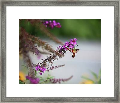 Hummingbird Sphinx Profile Framed Print