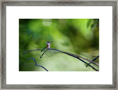Hummingbird Sticks Out Tongue Framed Print