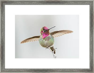 Hummingbird Stretch Framed Print