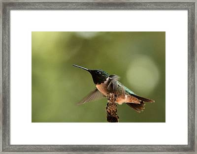 Hummingbird Take-off Framed Print