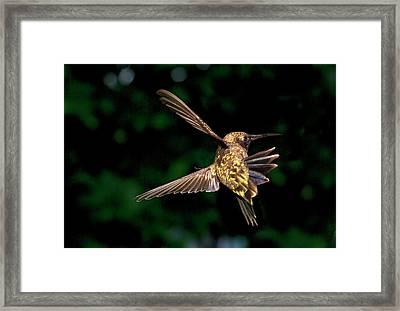 Hummingbird Taking Off Framed Print