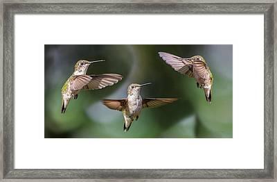 Hummingbird Trio Framed Print