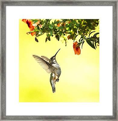 Hummingbird Under The Floral Canopy Framed Print