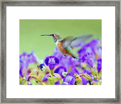 Hummingbird Visiting Violets Framed Print