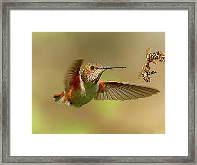 Hummingbird Vs. Bees Framed Print by Sheldon Bilsker