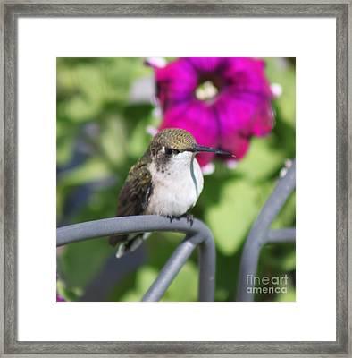 Hummingbird Waiting Spot Framed Print by Cathy  Beharriell