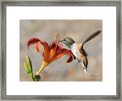 Hummingbird Whisper  Framed Print