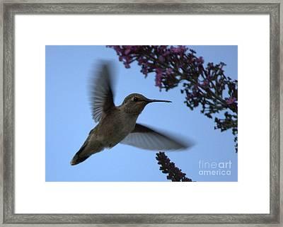 Hummingbird Wings And Butterfly Bush Framed Print by Carol Groenen