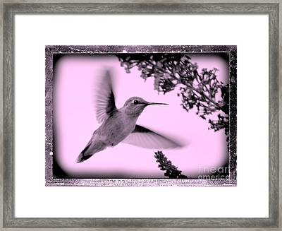 Hummingbird With Old-fashioned Frame 2  Framed Print by Carol Groenen