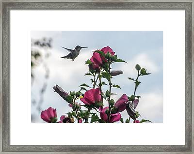 Hummingbird With Rose Of Sharon Framed Print by Photographic Arts And Design Studio