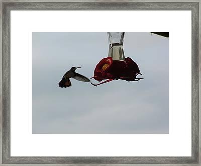 Hummingbirds Flight Framed Print by William Patterson