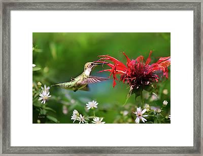 Hummingbird's Savory Summer Framed Print