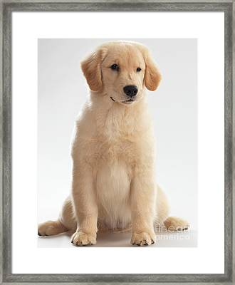 Humorous Photo Of Golden Retriever Puppy Framed Print by Oleksiy Maksymenko