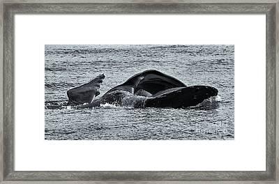 Humpback Fishing Framed Print by Mike Dawson