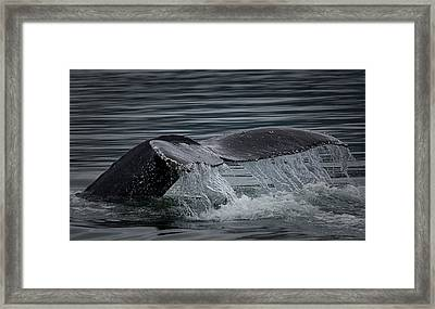 Humpback Fluke Framed Print by Randy Hall