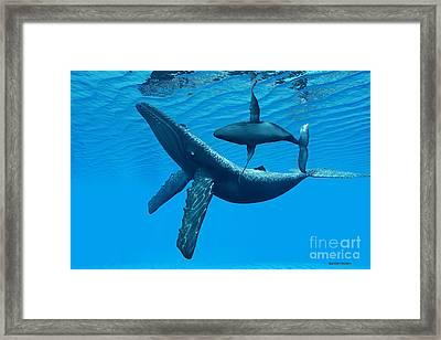 Humpback Whale Bonding Framed Print by Corey Ford