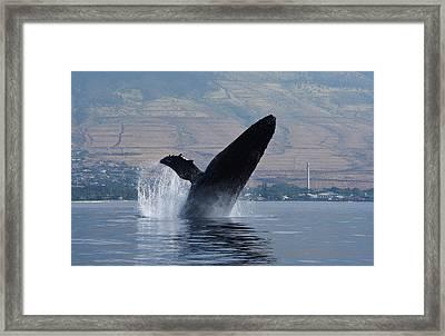 Humpback Whale Breach Framed Print by Jennifer Ancker