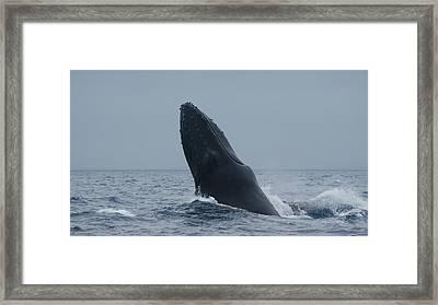 Humpback Whale Breaching Framed Print
