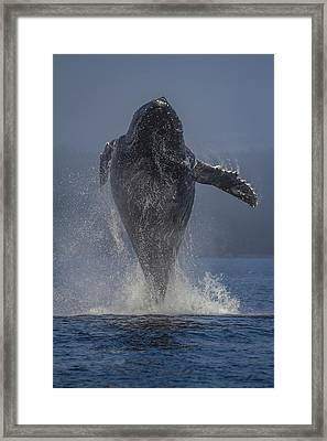 Humpback Whale Breaching In Chatham Strait Framed Print by Wild Montana Images