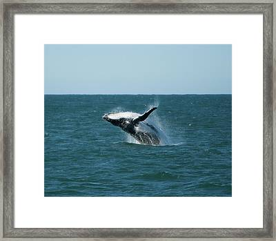Humpback Whale Breaching Framed Print by Peter K Leung