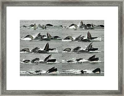 Humpback Whale Bubble-net Feeding Sequence X10 Framed Print by Robert Shard