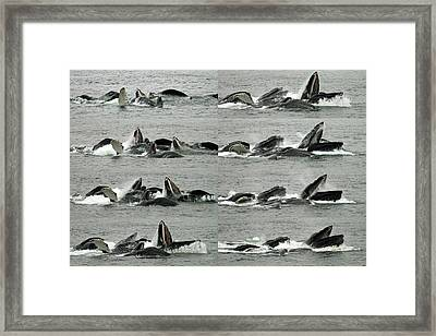Humpback Whale Bubble-net Feeding Sequence X8 Framed Print by Robert Shard
