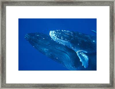 Humpback Whale Calf Riding Atop Cow Framed Print