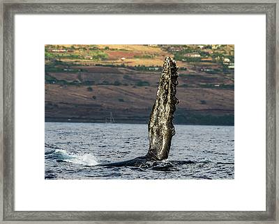 Humpback Whale Fin  Framed Print by Puget Exposure