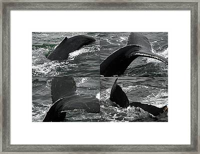 Humpback Whale Fluke Montage Framed Print by Robert Shard