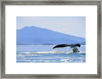 Humpback Whale Flukes Framed Print by John Hyde - Printscapes