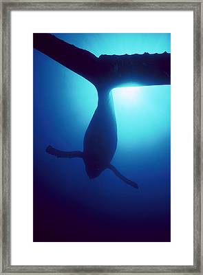Humpback Whale Megaptera Novaeangliae Framed Print by Flip Nicklin
