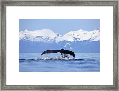 Humpback Whale Megaptera Novaeangliae Framed Print by Konrad Wothe