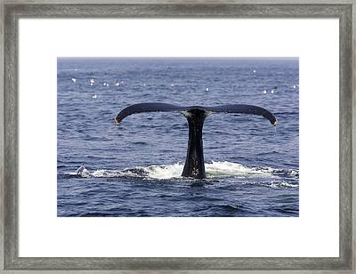 Humpback Whale Swimming Framed Print by Tim Laman