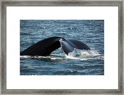 Humpback Whale Tail Cape Cod Massachusetts Framed Print by Michelle Wiarda