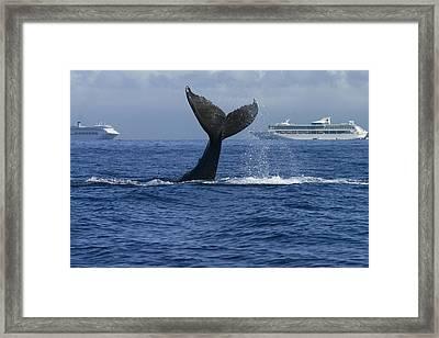 Humpback Whale Tail Lobbing Near Cruise Framed Print