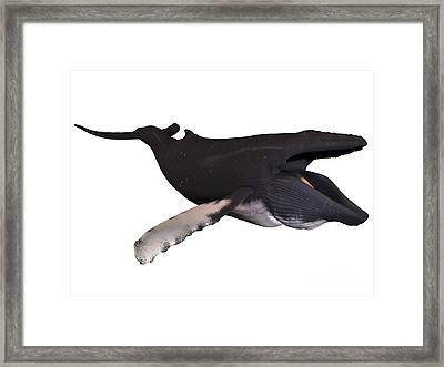 Humpback Whale With Baleen Framed Print by Corey Ford
